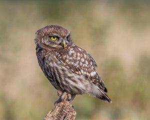 1500px-Little_Owl_(27918726942)