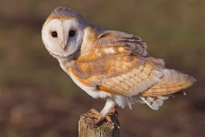 Barn_Owl,_Lancashire