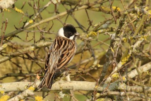 Common_reed_bunting_(Emberiza_schoeniclus)_male_summer_plumage