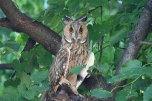 Long-eared_Owl_(1313056033)