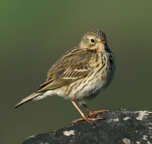 Meadow_Pipit_by_Jenny_Jones