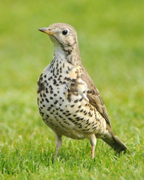 Mistle Thrush 81 (Michael Finn)