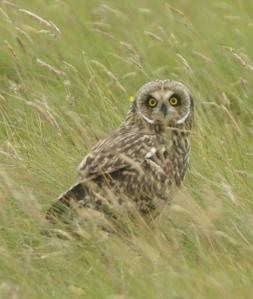 Short-eared_owl