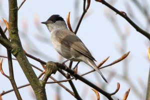 Sylvia_atricapilla_-Lullington_Heath,_East_Sussex,_England_-male-8