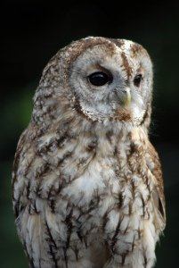 Tawny_Owl_-_CNP_1299_(6962586093)
