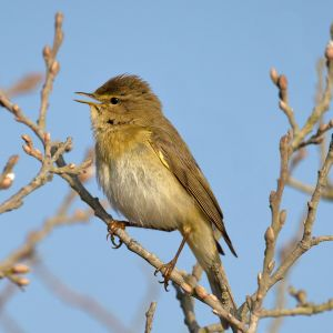 Willow_Warbler_Phylloscopus_trochilus