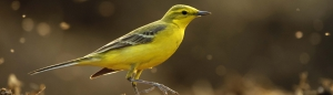 Yellow Wagtail © Chris Gomersall 2020VISION