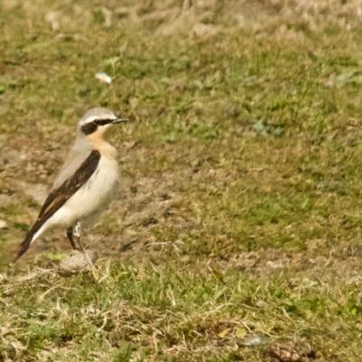 Male wheatear