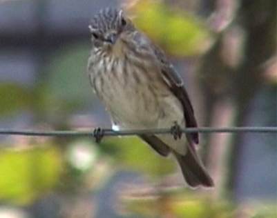 BG-spotted-flycatcher-1