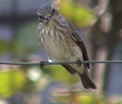BG-spotted-flycatcher-1