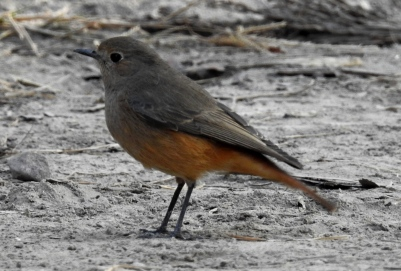 Female black redstart