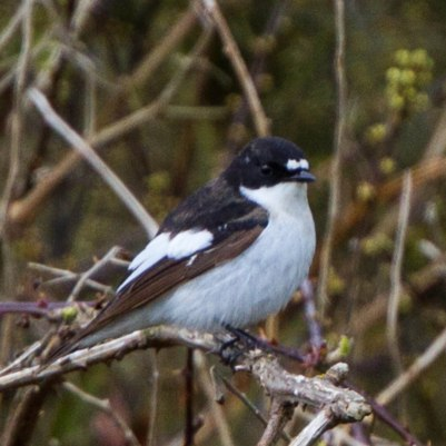Ficedula_hypoleuca_Sussex_1