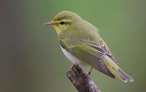 Flickr_-_Rainbirder_-_Wood_Warbler_(Phylloscopus_sibilatrix)