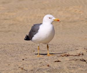Lesser_Black-backed_Gull_(3303854335)