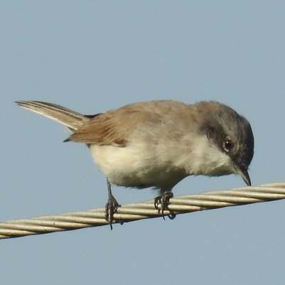 Lesser whitethroat (photo: Dr. Raju Kasambe)