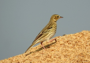 Tree_Pipit_Anthus_trivialis_by_Dr._Raju_Kasambe_DSCN3004_(2)
